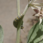 Monarch butterfly caterpillar / larva (Danaus plexippus) on Showy Milkweed (Asclepias speciosa) at Tilden Park.
