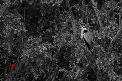 Heron Tangles