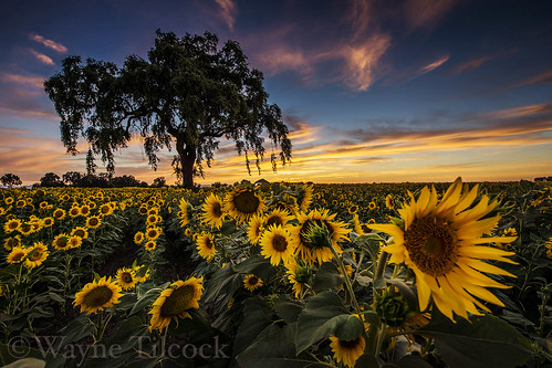california flowers sunset sky tree yellow clouds woodland oak sunflower davis valleyoak yolo