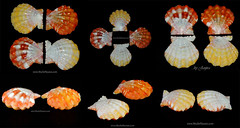 Sunrise shells / Langford \'s Pecten natural pairs
