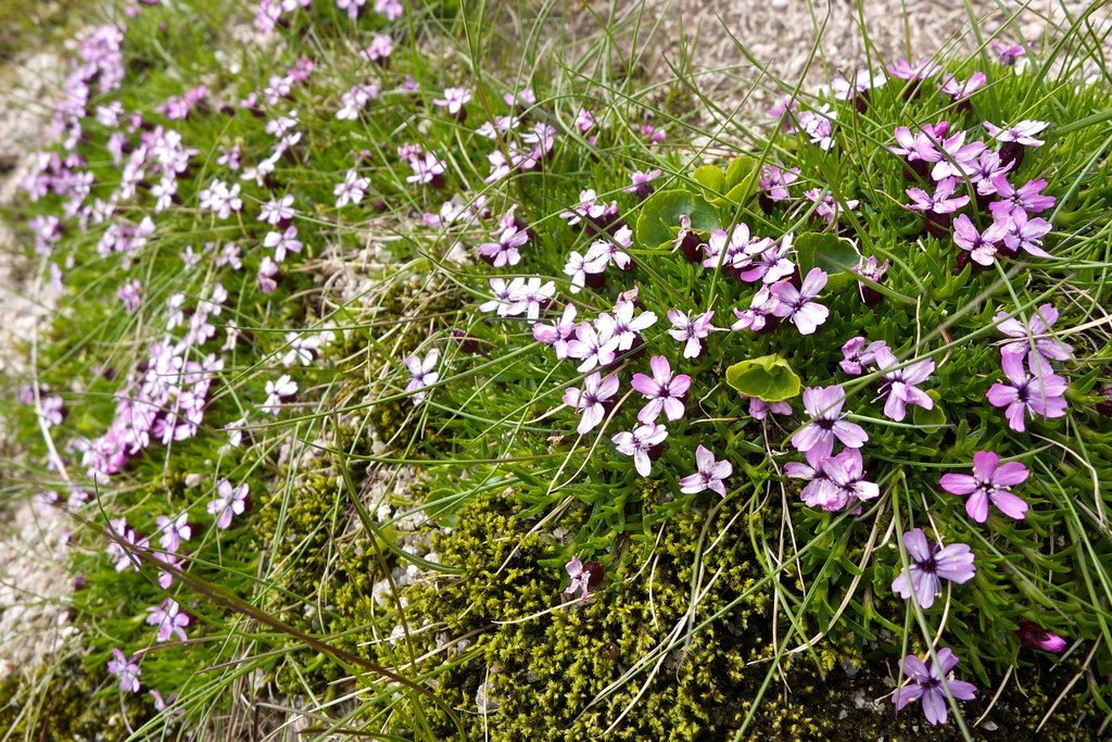 Wild flowers on Stob Coir'an Albannaich