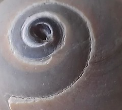 Cinnabun Shell