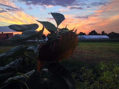 sunset summer sky field village poland polska sunflower lato wieś piątekmały
