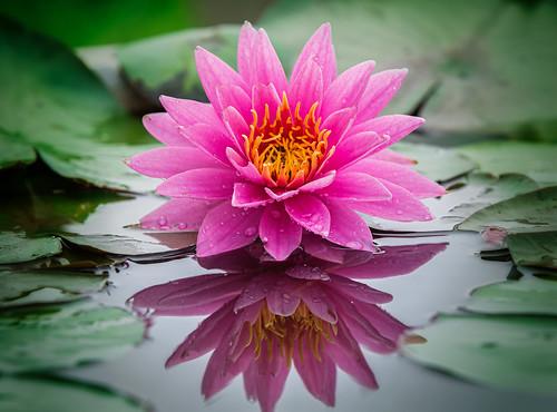 Fleur Lotus fleur de lotus et bouddhisme - blog savdana