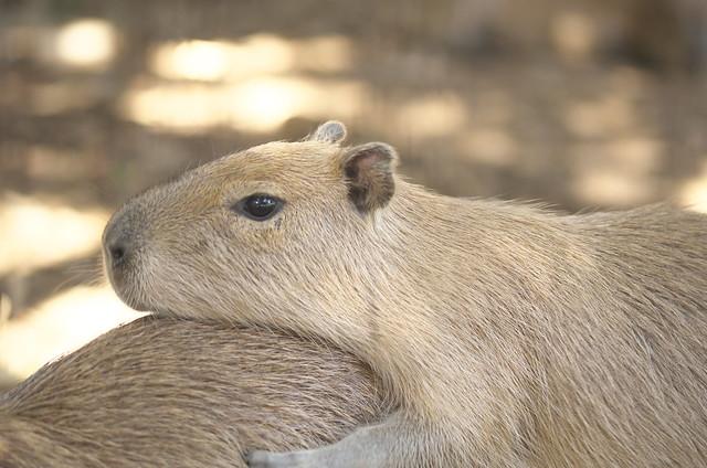 大宮公園小動物園のカピバラ一家 2014年8月7日