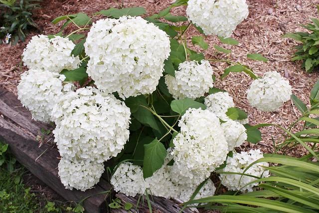 snowball-hydrangea
