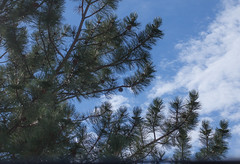 Pine in the Sky