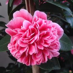 Stunning ! #nofilter #camellia