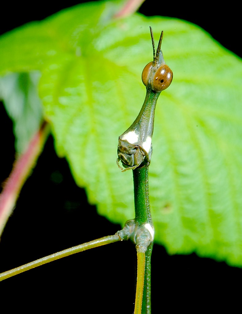 Giant Jumping Stick (Stiphra sp.)