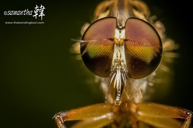 Macro Robber Fly