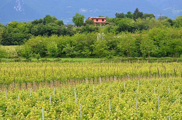 Franciacorte vineyards, Lake Iseo, walking in the Italian Lakes