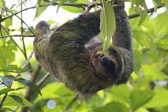 marmoset(0.0), new world monkey(0.0), ape(0.0), animal(1.0), three toed sloth(1.0), monkey(1.0), mammal(1.0), fauna(1.0), jungle(1.0), wildlife(1.0),