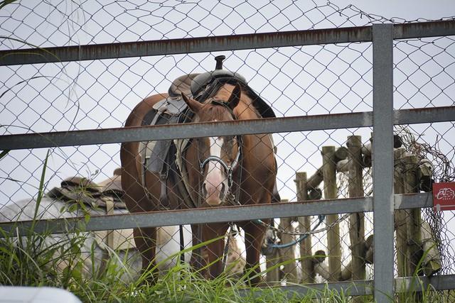 清境農場的馬