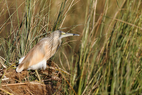 Sqacco Heron