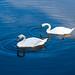 Swans in Blue