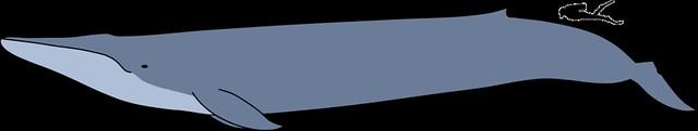 全世界最大的哺乳動物藍鯨與人類體型比較圖。圖片來源:維基百科。