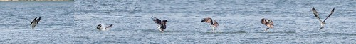ohio osprey pandionhaliaetus bantam eastforkstatepark