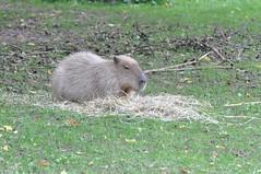 pet(0.0), marmot(0.0), animal(1.0), grass(1.0), rodent(1.0), prairie dog(1.0), fauna(1.0), capybara(1.0), wildlife(1.0),