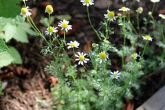 Chamomile just keeps on blooming