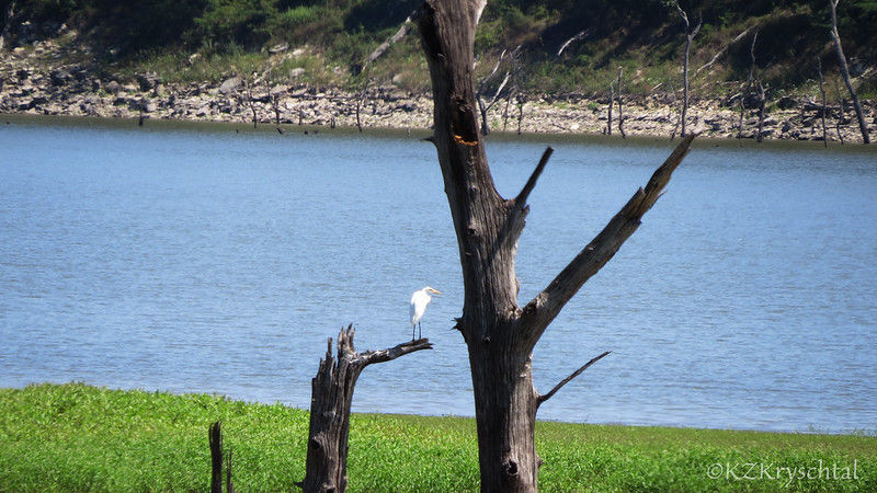 IMG_2970GreatEgret