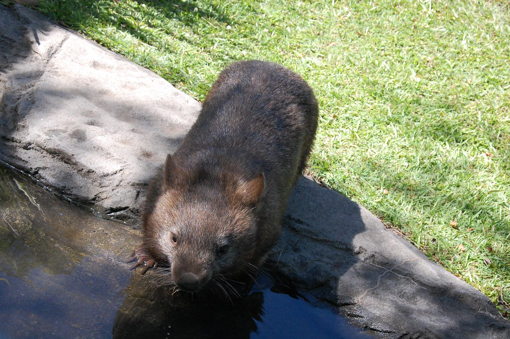 Wombat en Zoo Australia