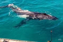 sea lion(0.0), grey whale(0.0), humpback whale(0.0), animal(1.0), marine mammal(1.0), whale(1.0), ocean(1.0), marine biology(1.0),