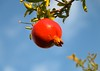 <<>> Ripe • Pomegranate • Against • The • Sky <<>> The Golden Hour <<>>