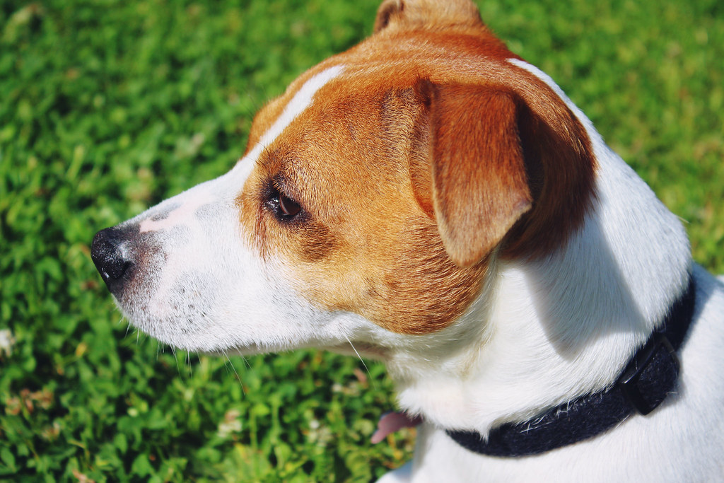jack-russel-puppy