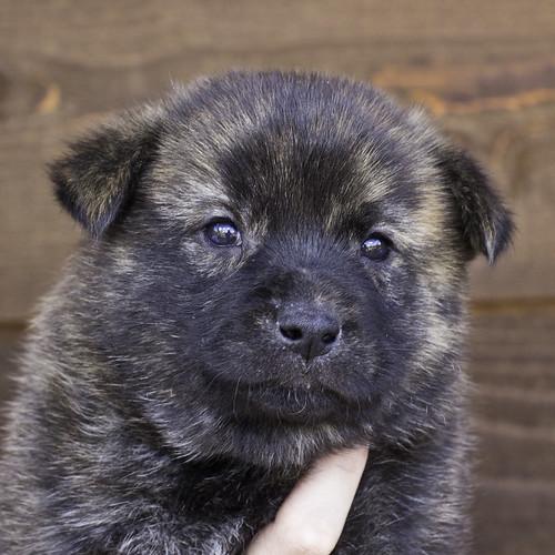 Nori-Litter2-30Days-Puppy2(male)a