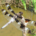 12-spotted skimmer in the cattails