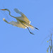 Garza blanca (Ardea alba) by ruben gobetti