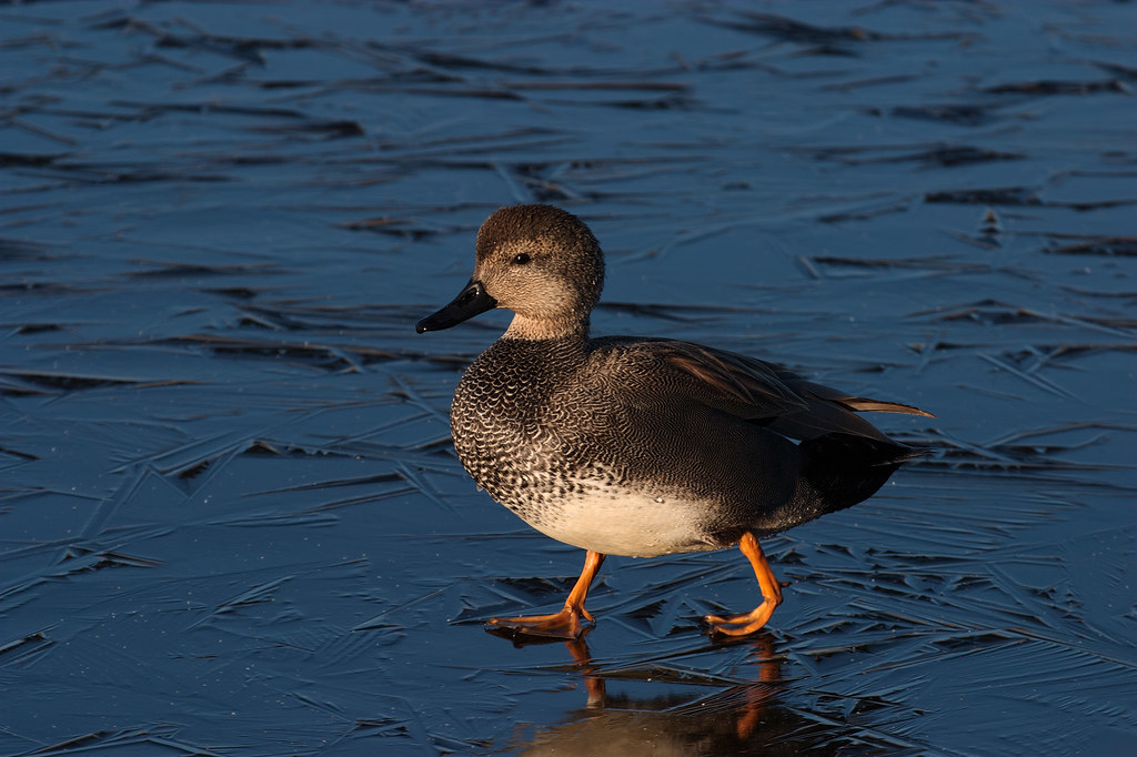 A gadwall drake walks across the ice late on a winter afternoon