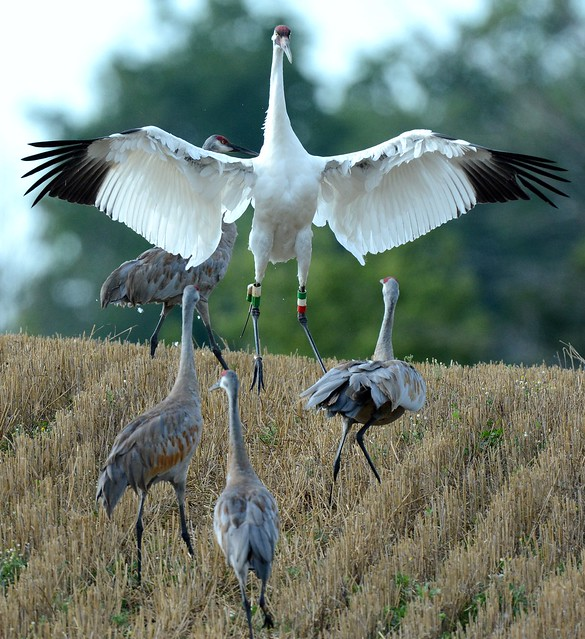 Whooping Crane with Sandhill Cranes in Michigan