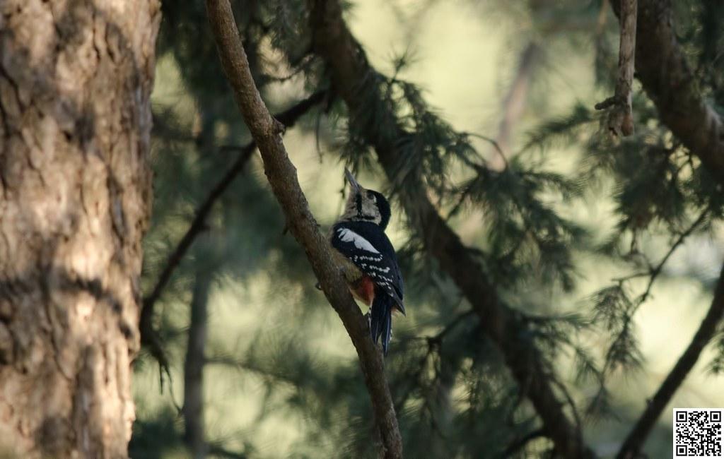 Himalayan Woodpecker [Pico del Himalaya]