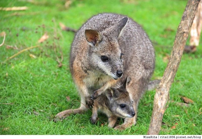 KKDAY 墨爾本自由行 melbourne gowesttours kkDAY墨爾本 墨爾本企鵝 澳洲自助 墨爾本自助 菲利浦島 菲利浦島交通 墨爾本必去 墨爾本酒莊 月光野生動物 Nobbies 墨爾本企鵝歸巢 墨爾本一日遊 菲利普島一日遊,小企鵝歸巢遊行55