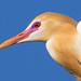 Cattle Egret (Breeding Flush) by petefeats