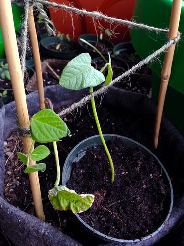 Calima seedlings