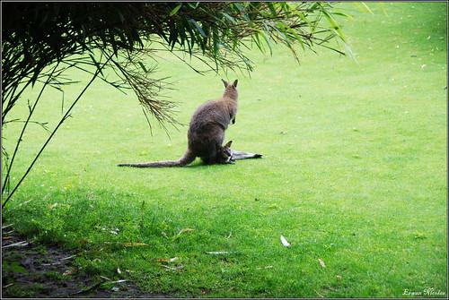 Jardin des Plantes: Wallaby