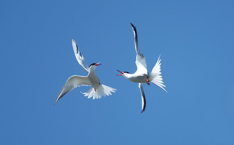 Duelling Terns [Common]