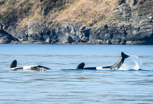 Super pod of L-Pod orcas
