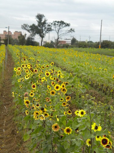 桃園觀音好玩的向陽農場 (3)