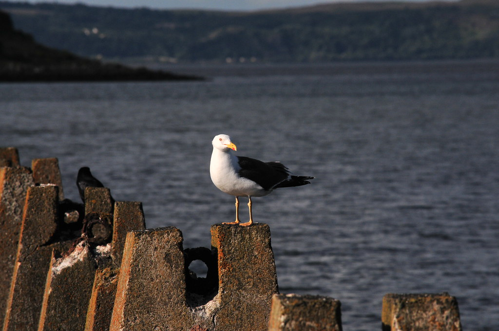 sea gull on causeway, Cramond