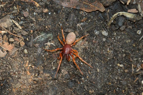 Dysdera crocata... woodlouse spider