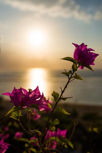 ocean pink sea bali sun flower beach composition sunrise indonesia denpasar sanur