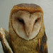 Barn Owl by Jonathan Dy