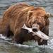 Katmai Bear with a Salmon by Rob Kroenert