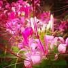 Beautiful flowers in the garden of Namdroling Nyingmapa monastery, Bylakuppe