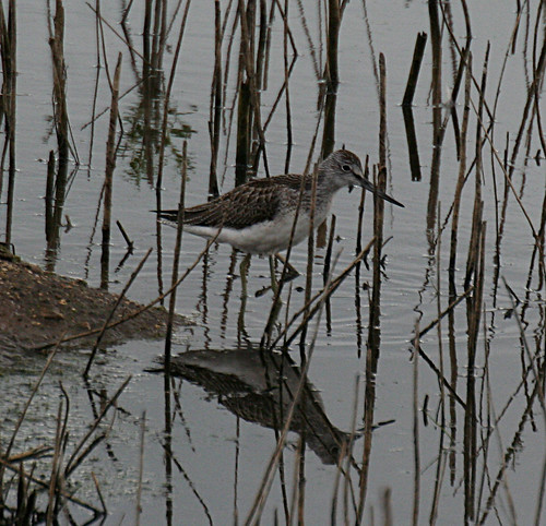 Greenshank Tringa nebularia Tophill Low NR, East Yorkshire August 2014