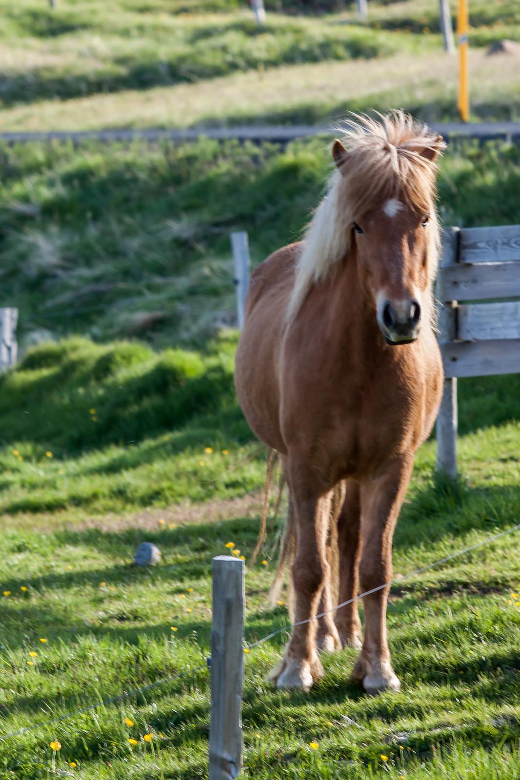 Ólafsfjörður. Horses