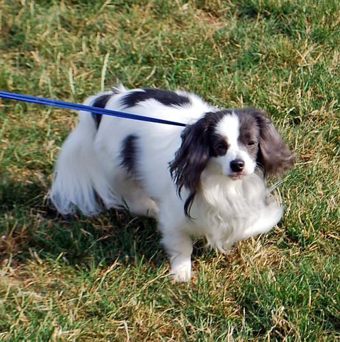On-lead and happy, Toby the Papillon-mix